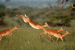 gazelle leaping.jpg