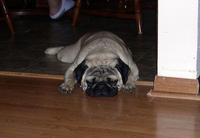 Tired pug.jpg