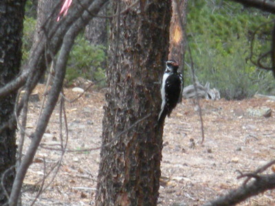 Thumbnail image for Woodpecker 8-31-08.JPG