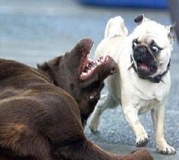 Scared pug.jpg