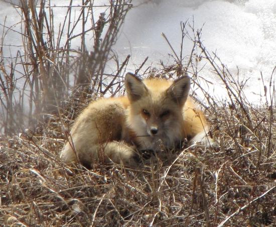 Foxy 2.jpg