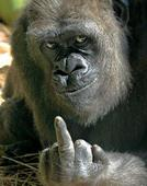 gorilla-getting-angry.jpg