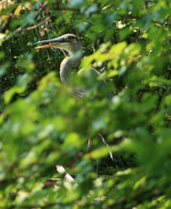 Long Island Duck.jpg