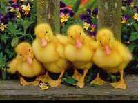 Ducks all in a row.jpg
